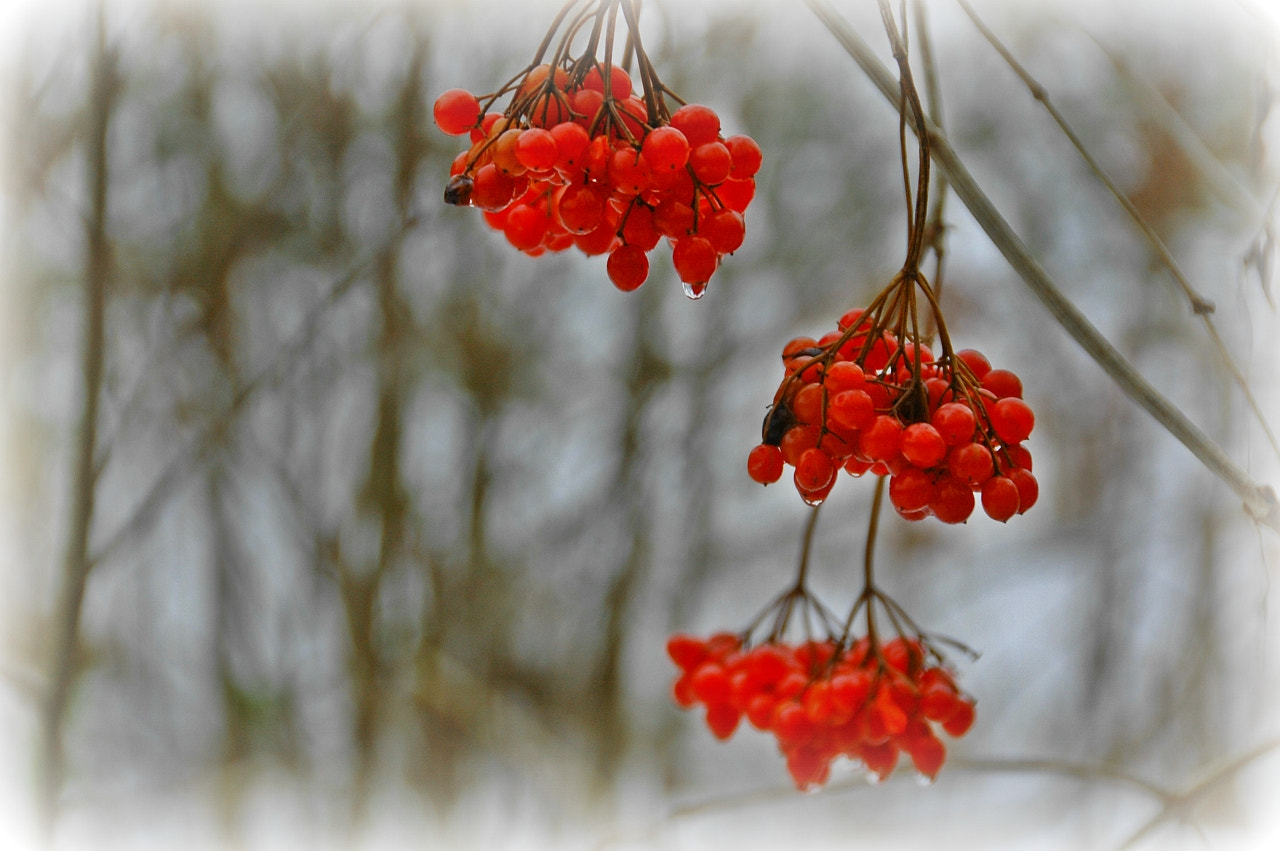 Photograph Winter Berry I by Sir Trauti on 500px