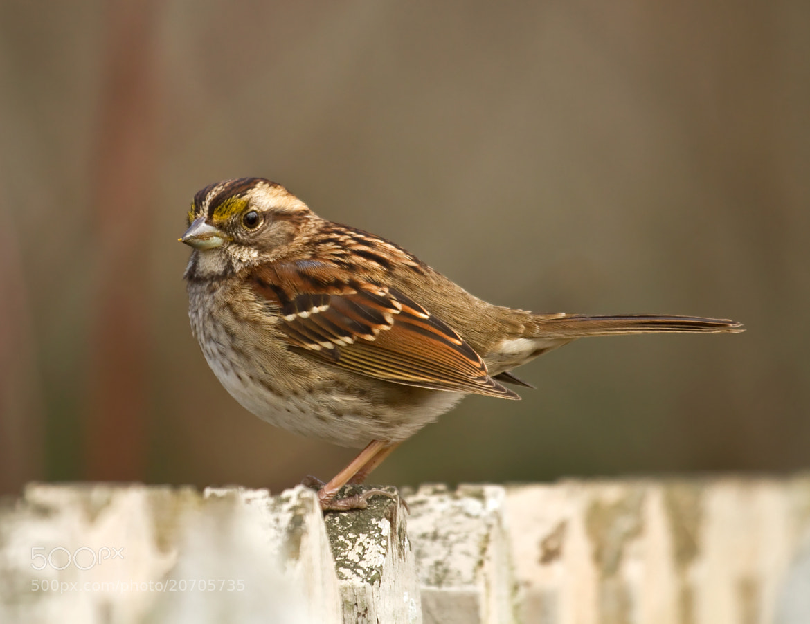 Photograph Sparrow On Fence by Lorraine Hudgins on 500px