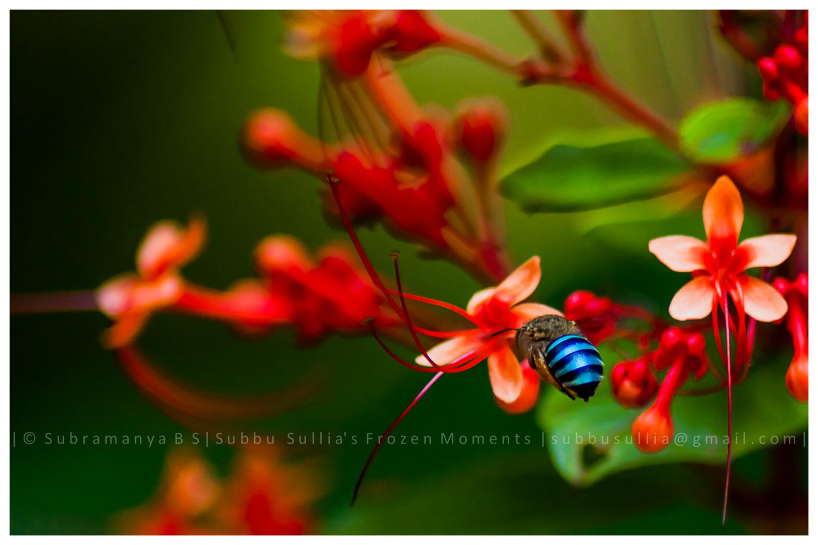 Photograph Blue banded bee by Subbu  Sullia  on 500px