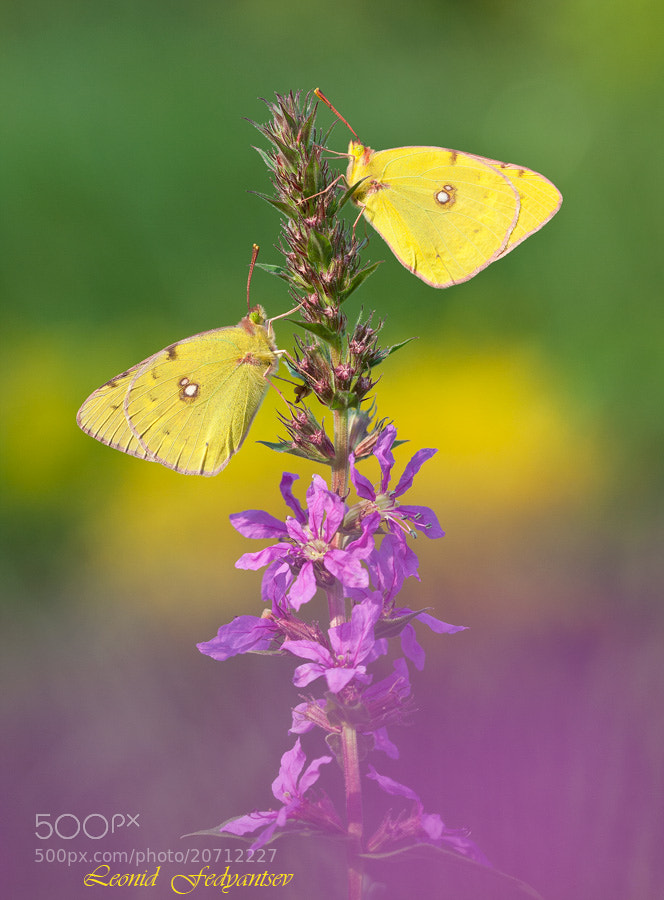 Photograph Etude With Yellow Butterflies by Leonid Fedyantsev on 500px