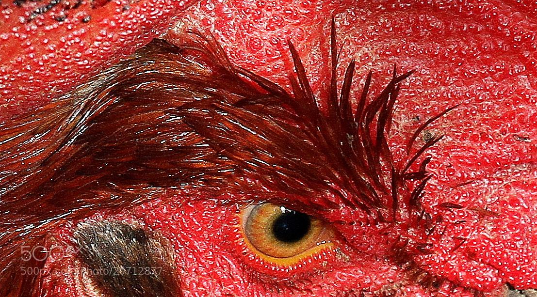 """Photograph La mirada del gallo,"""" rey del corral """" by Guillermo Beatove Gracia on 500px"""