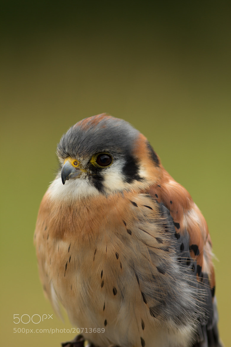 Photograph American Kestrel by Anuj  Raj on 500px