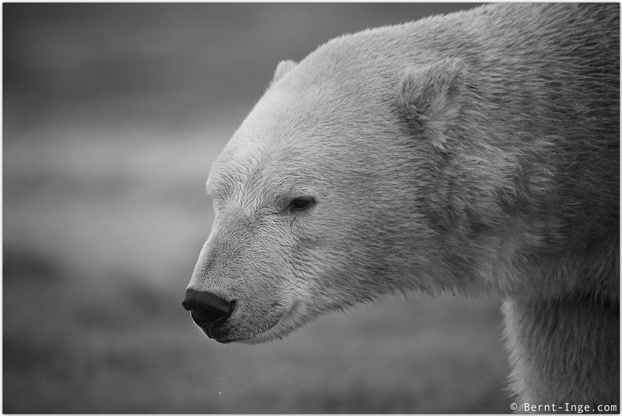 Polar Bear portrait by Bernt-Inge Madsen on 500px.com