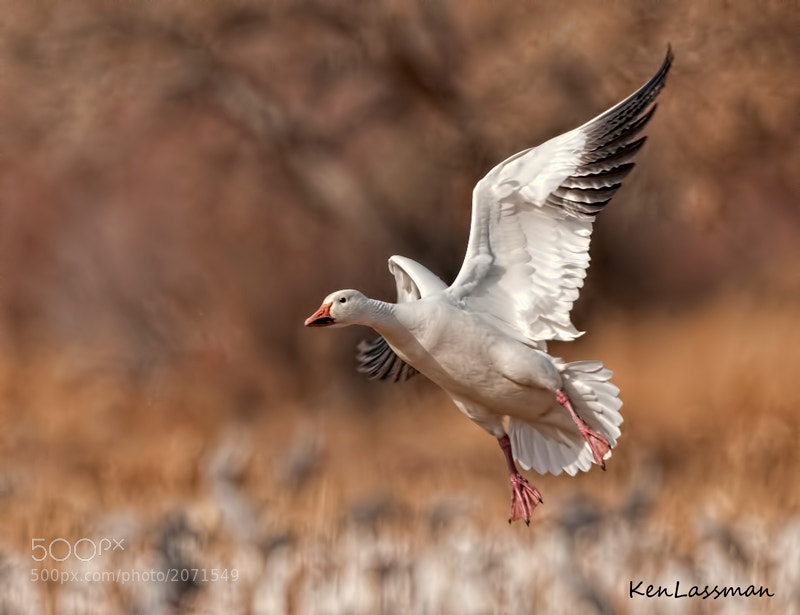 Snow Goose arriving at one of the corn fields at Bosque Del Apache, New Mexico