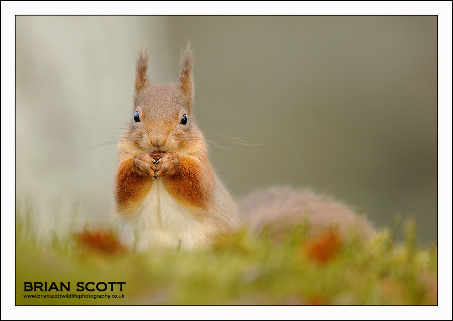 Photograph Red Squirrel by Brian Scott on 500px
