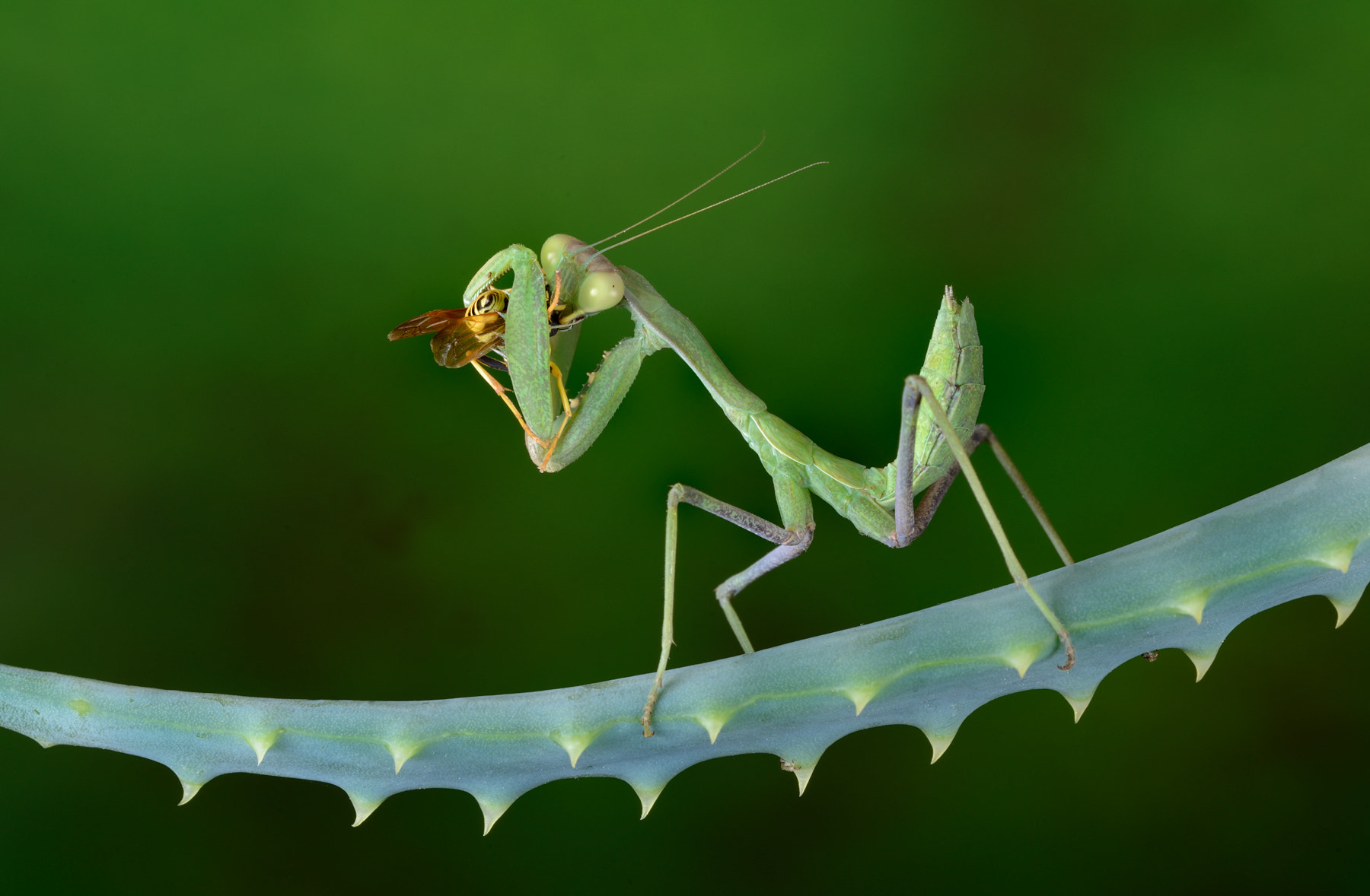 Photograph Mantis with pray by Charles Charalambous on 500px