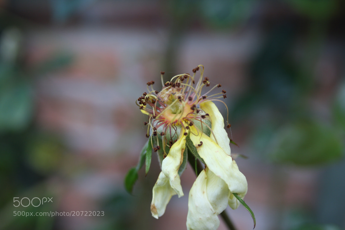 Photograph Beauty of a wilted flower by Heleen Severin on 500px