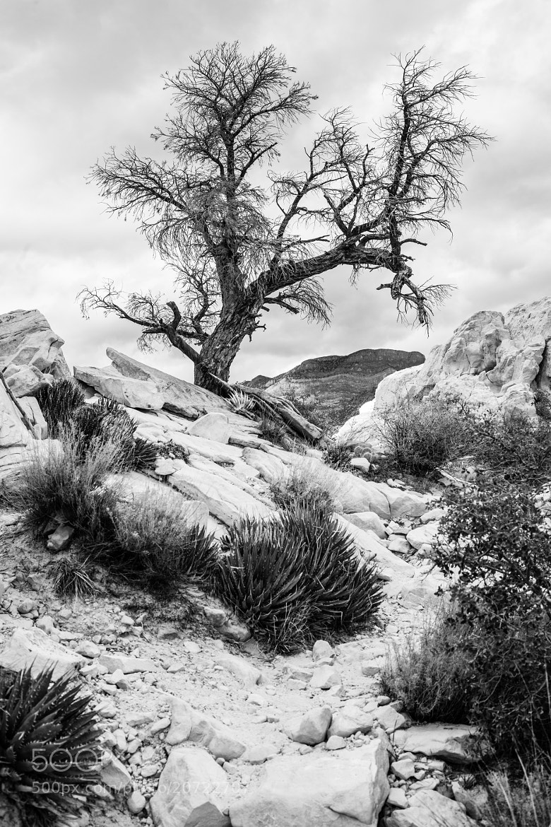 Photograph Desert Tree by Topher Pettit on 500px