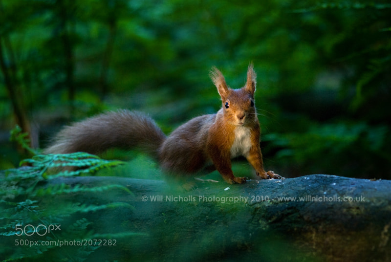 Photograph Red Squirrel in Evening Light by Will Nicholls on 500px