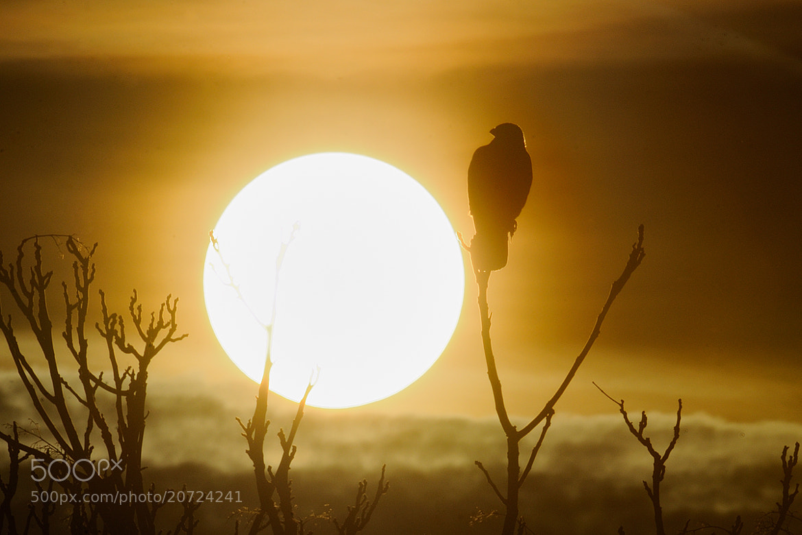 Photograph Hawk in sunset by mauro sanna on 500px