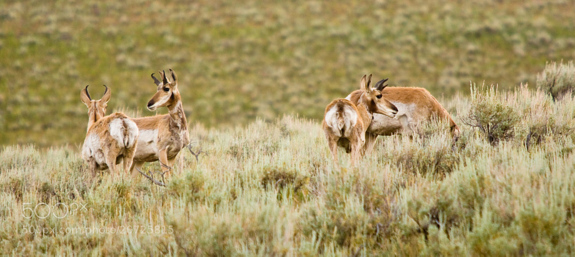 Photograph Pronghorn Group by Dave Re on 500px