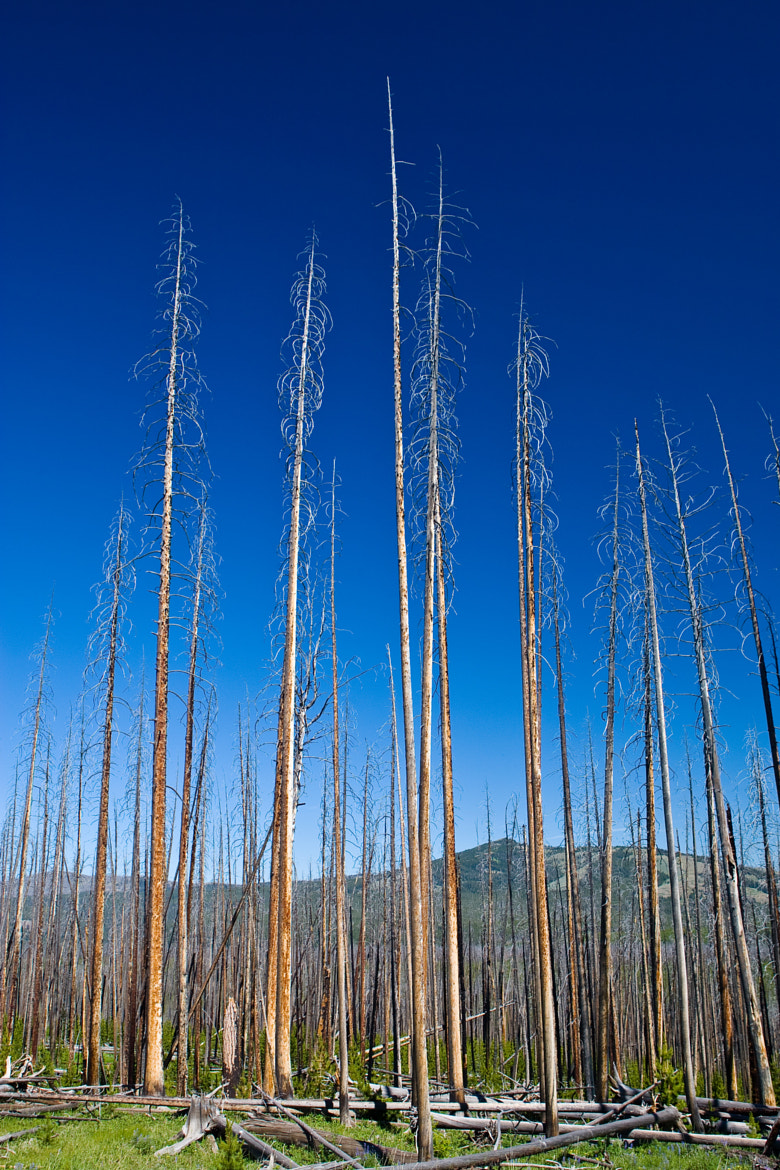Photograph Bare Lodgepoles by Dave Re on 500px