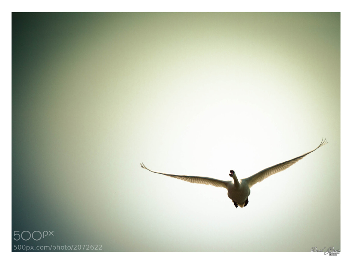 Photograph Cygne en vol by Garait David on 500px