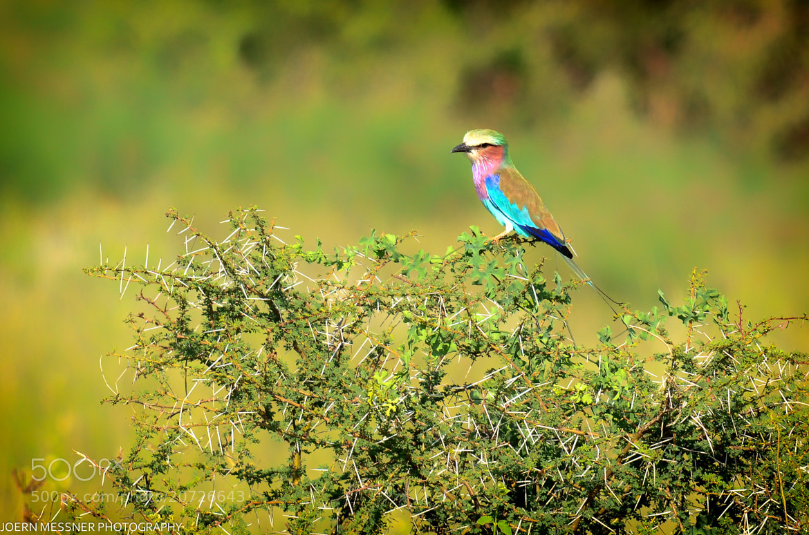 Photograph Lilac Breasted Roller by Joern Messner on 500px