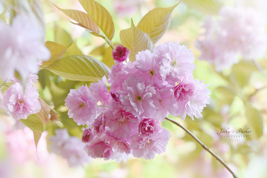 Prunus Kanzan by Jacky Parker on 500px.com