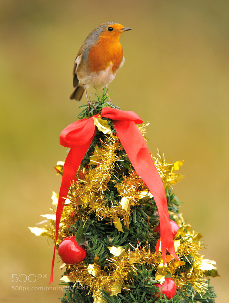 Photograph  Christmas Robin by Kevin  Keatley on 500px