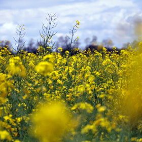 yellows by Riccardo Marsilio (Rittardo)) on 500px.com