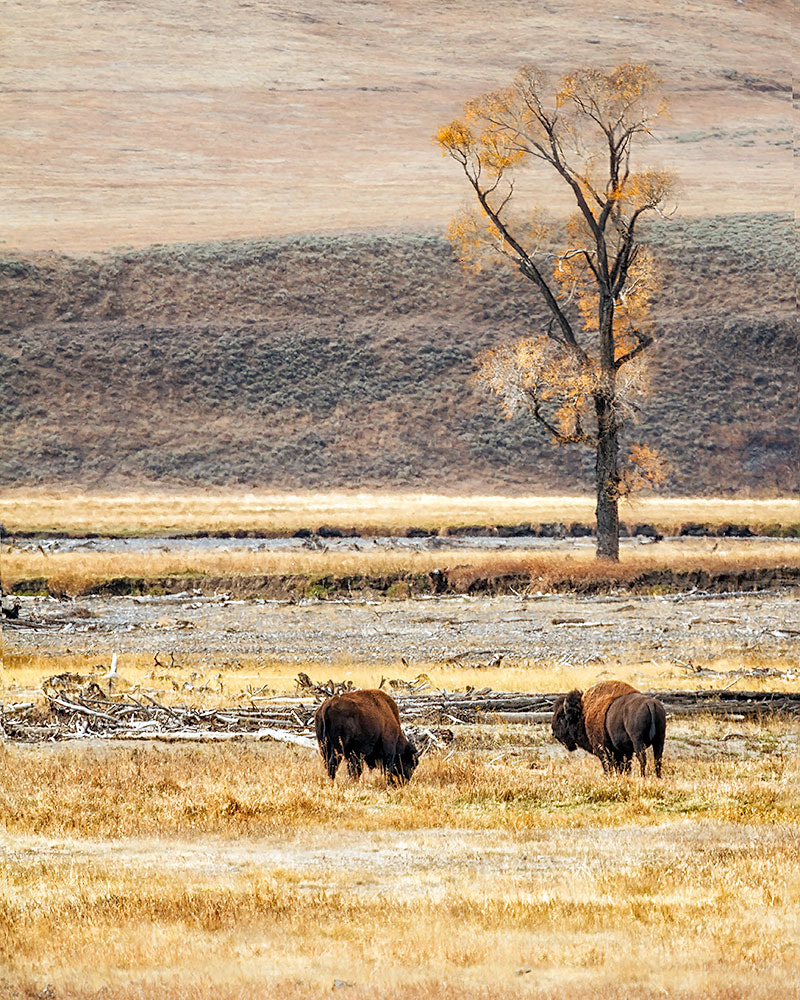 Photograph Bisons at Lamar Valley by Ivan Peña on 500px
