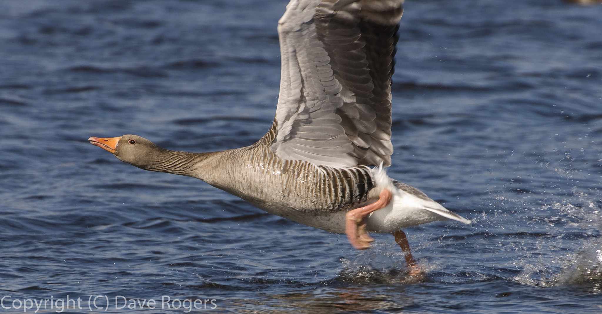 Photograph Agressive goose by Dave Rogers on 500px