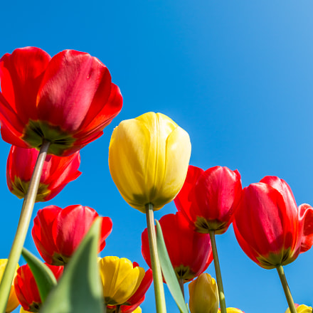 Red and yellow tulips from ground perspective