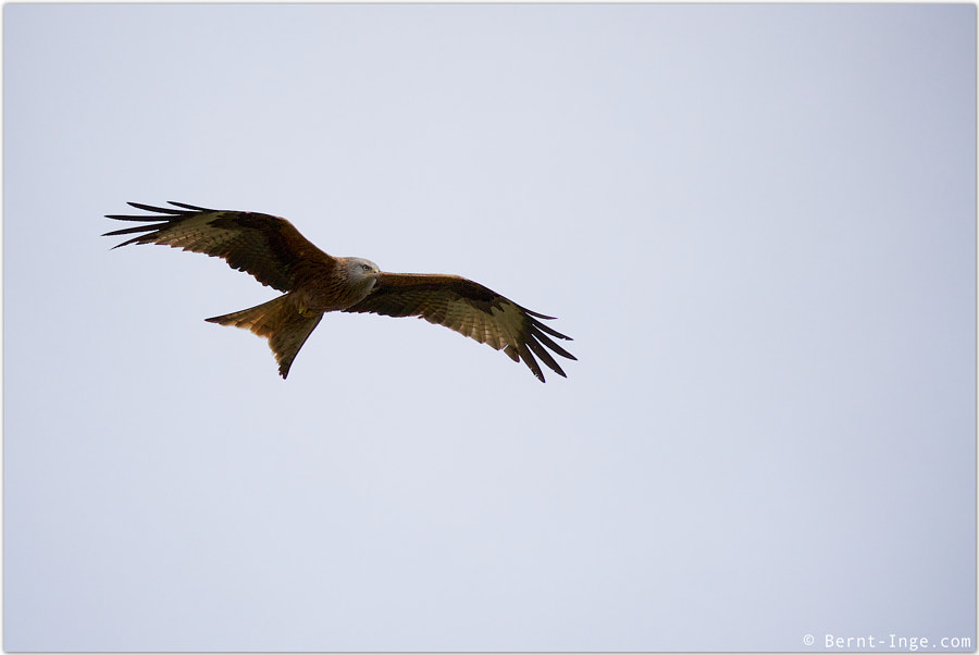 Red Kite hoovering by Bernt-Inge Madsen on 500px.com