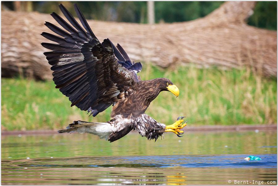Steller's sea eagle hunting by Bernt-Inge Madsen on 500px.com