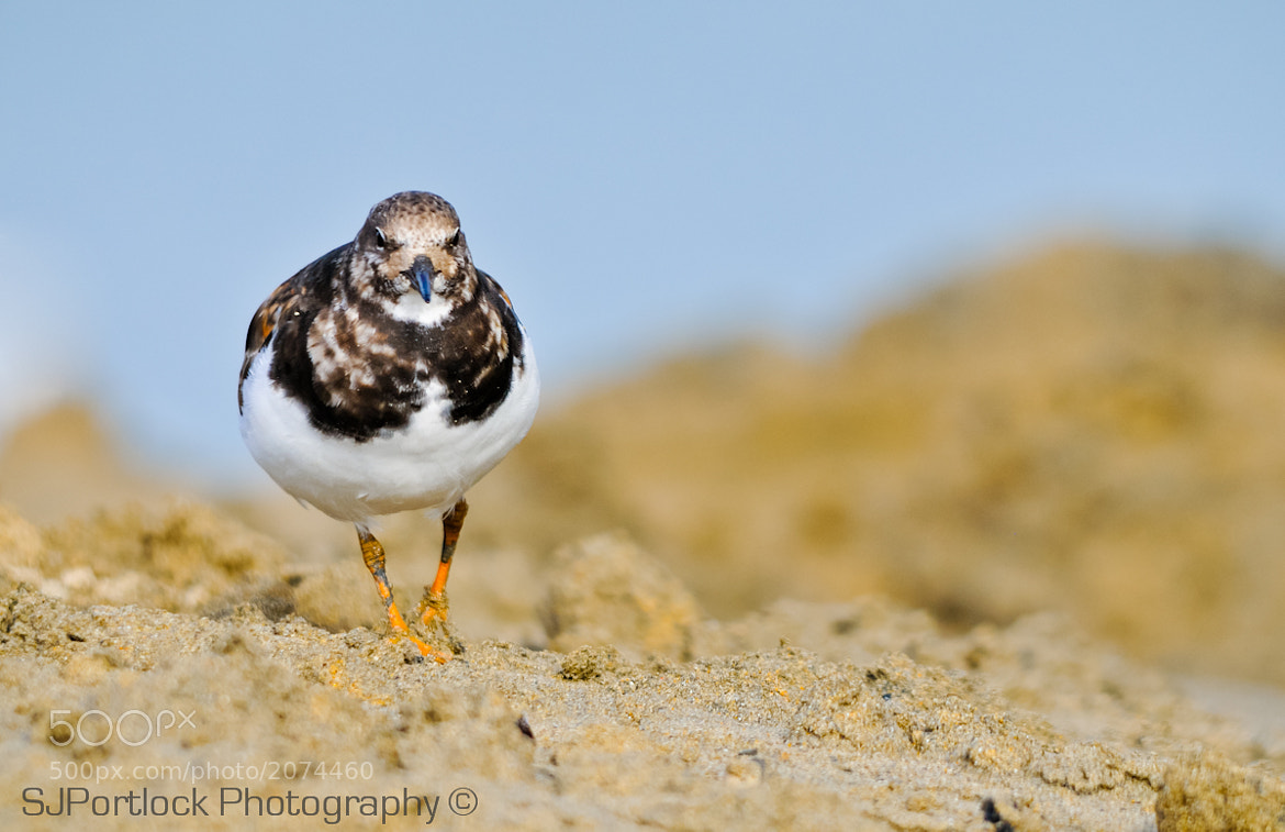 Photograph Turnstone - Arenaria interpres by Stephen Portlock on 500px