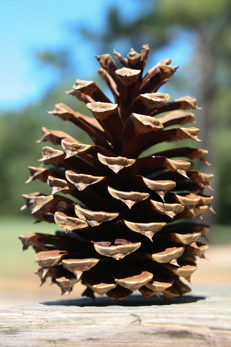 Photograph A Pine Cone by Jordan Nagle on 500px