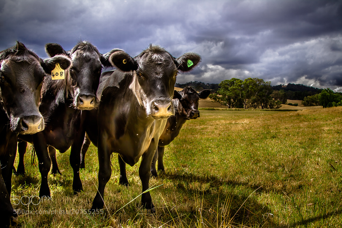 Photograph Cows by Dave McKay on 500px