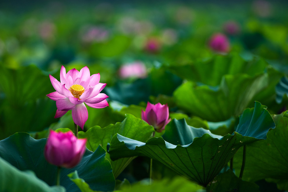 Photograph Lotus by Hai Thinh on 500px