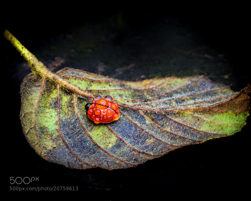 Photograph Wet Ladybug - 2 by Avishai Avivi on 500px