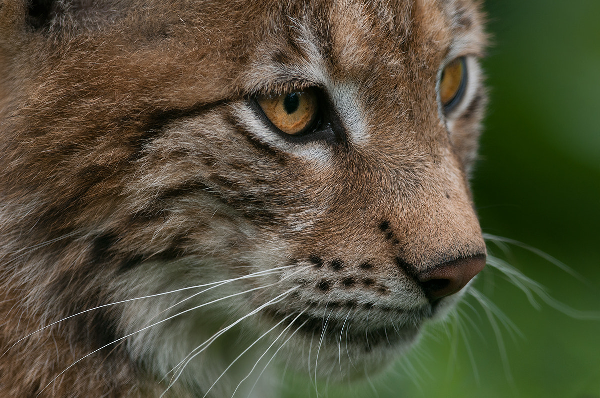 Photograph Close Up Lynx Youngster by Rob Janné on 500px