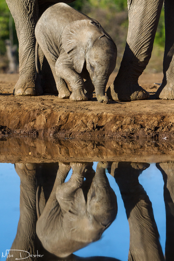 Photograph Elephant calf reflection by Mike Dexter on 500px