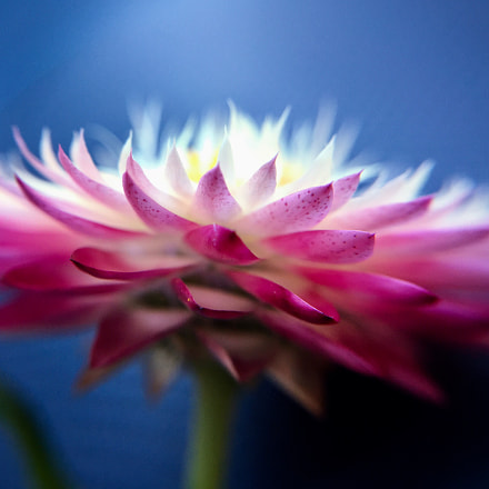 Xerochrysum in the blue...