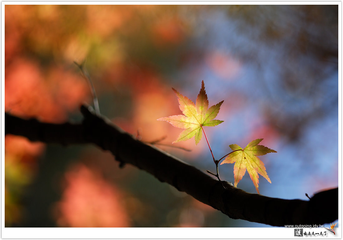 Photograph Maple by 該出去走一走了 Outgoing on 500px