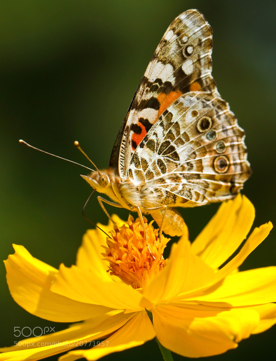 Photograph Buckeye Butterfly by Lorraine Hudgins on 500px