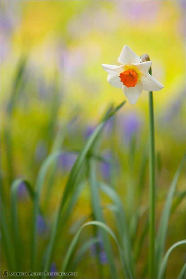 Photograph Watercolour Daffodil by Martin Bailey on 500px