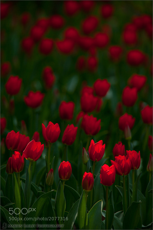 Photograph Red Tulips by Martin Bailey on 500px