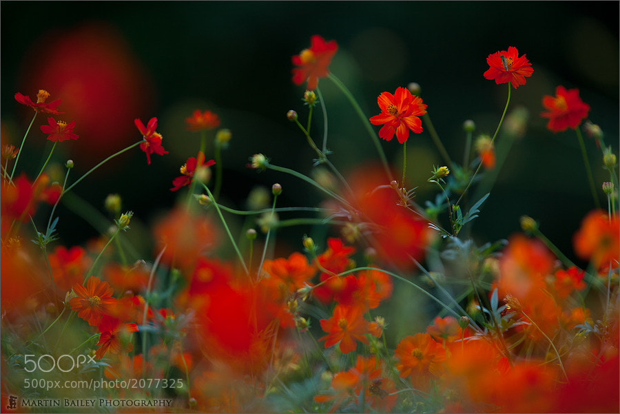 Photograph Red Cosmos by Martin Bailey on 500px