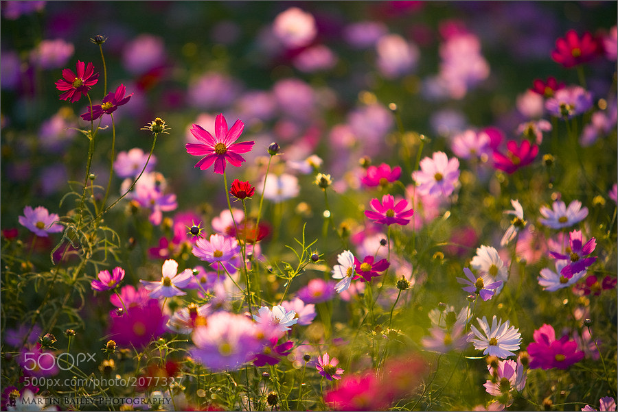 Photograph Cosmos Rhapsody by Martin Bailey on 500px