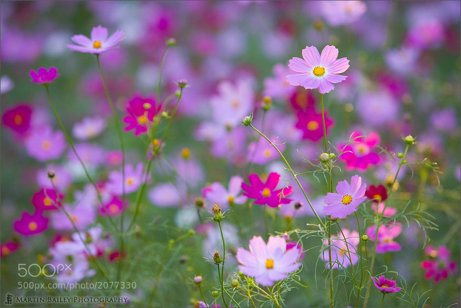 Photograph Pastel Cosmos #2 by Martin Bailey on 500px