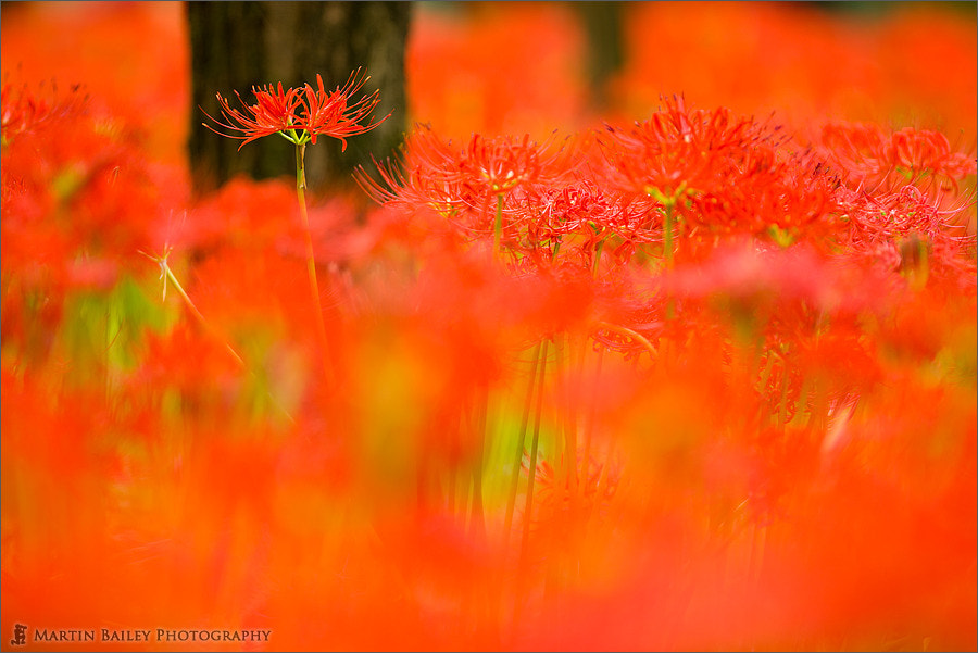 Photograph Sea of Red by Martin Bailey on 500px