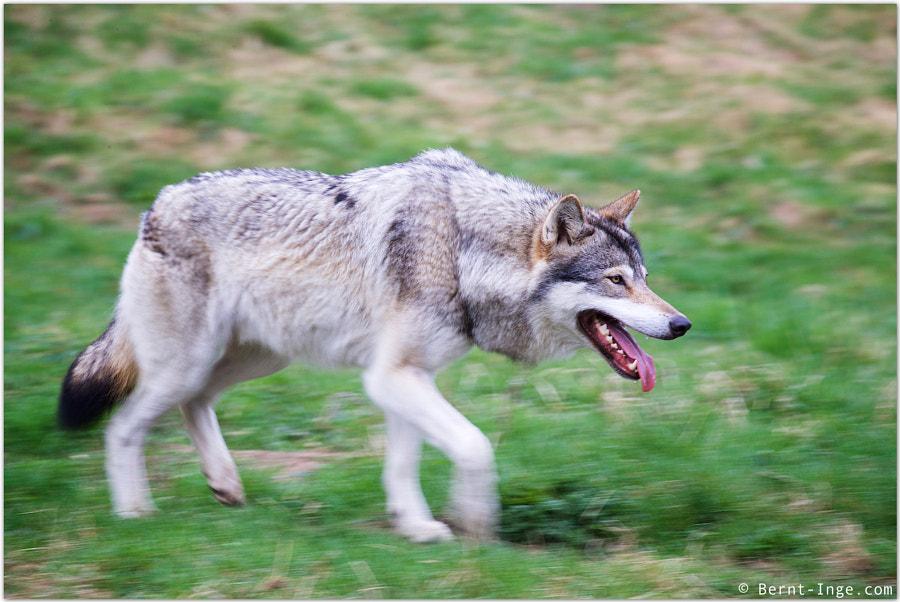 Gray wolf by Bernt-Inge Madsen on 500px.com