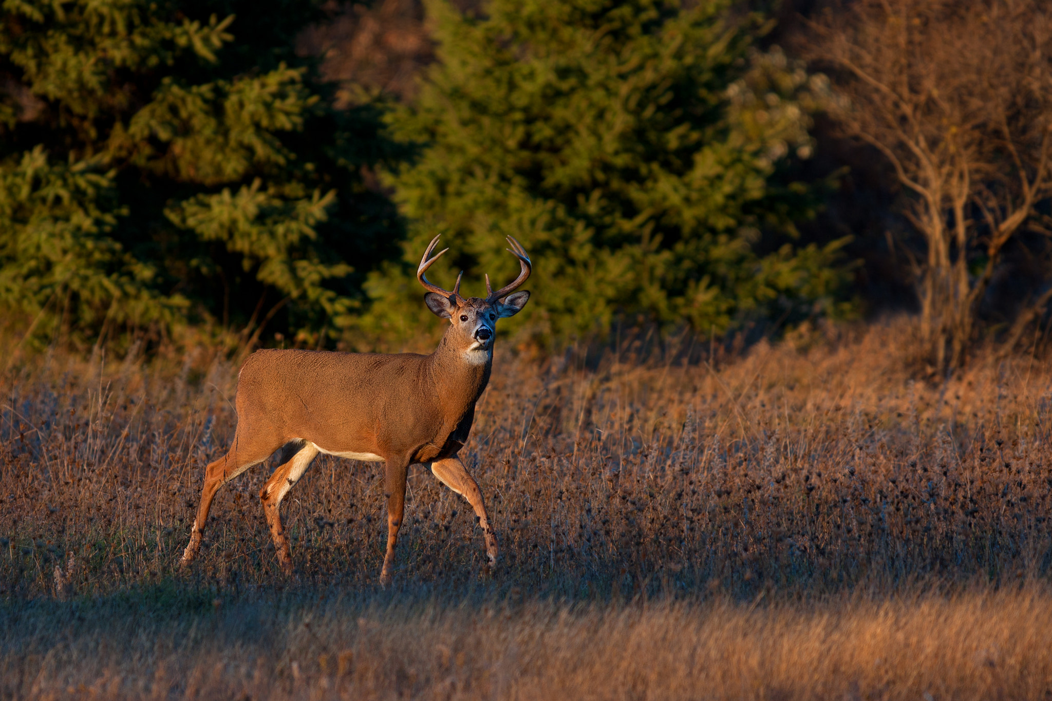 Photograph In the spotlight - White-tailed deer by Jim Cumming on 500px