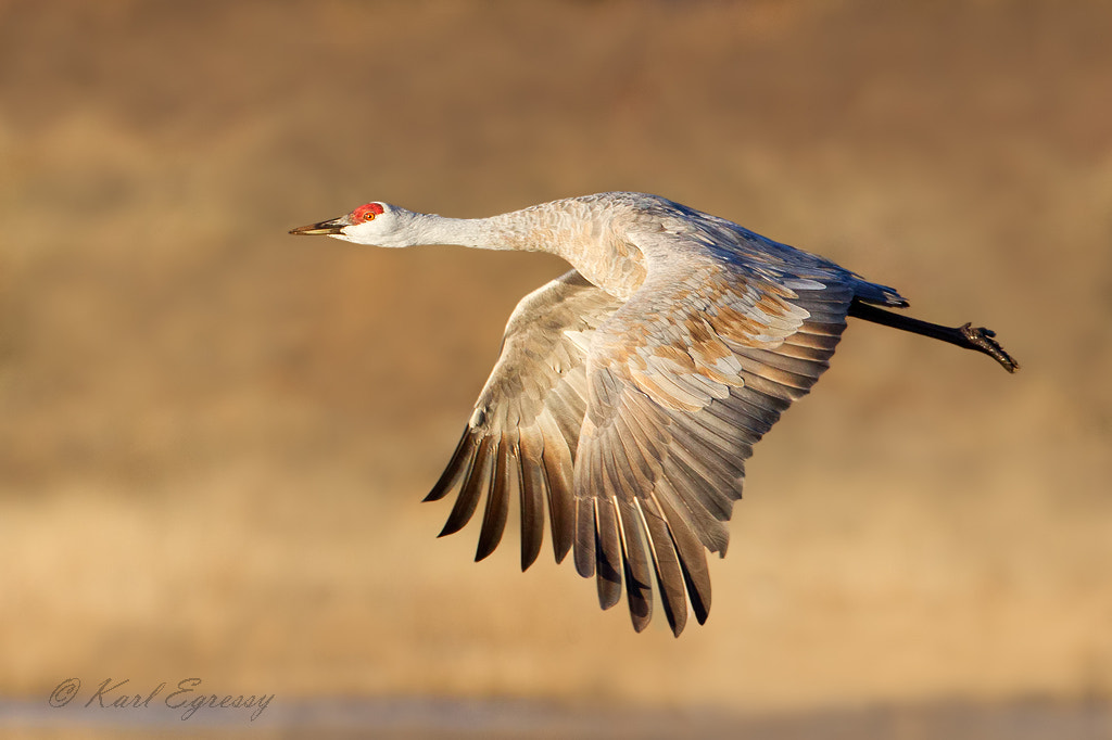 Photograph Sandhill Crane in Flight by Karl Egressy on 500px