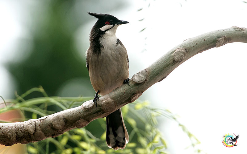 Photograph Red-whiskered Bulbul by Andy Fu on 500px