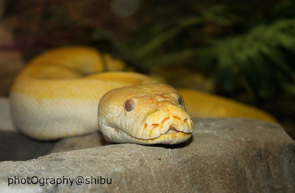 Photograph yellow snake by shibu hasan on 500px