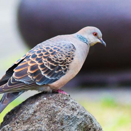 Oriental Turtle Dove // Taiwan