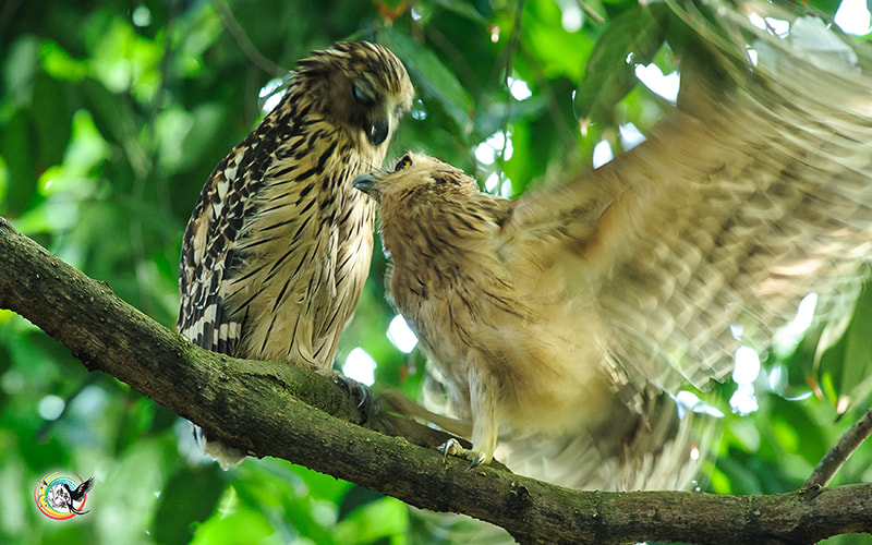 Photograph Buffy Fish-Owl by Andy Fu on 500px