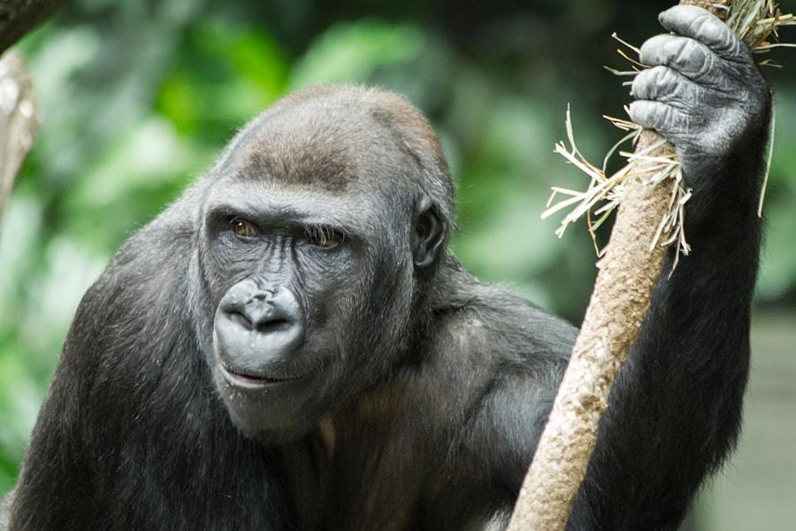 Gazing Gorilla
